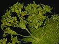 Alchemilla monticola inflorescence (07).jpg