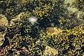 Algae, sea gooseberry and jellyfish in Brofjorden 1.jpg
