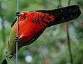 Alisterus scapularis -Australia (female) -underside-8.jpg