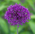 Allium 'Purple Sensation'.jpg
