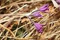 Allium acuminatum 2897.JPG