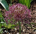 Allium christophii 'Rien Poortvliet' Flower Head 1753px.jpg