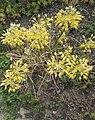 Allium flavum L.-1F.jpg