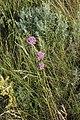 Allium lineare 43439769.jpg