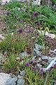 Allium sacculiferum Allium komarovianum GiardinoBotanicoAlpinoViote 20170902 A.jpg