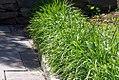 Allium tuberosum 3zz.jpg
