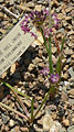Allium tuolumnense 1.jpg