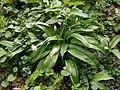 Allium ursinum 122947904.jpg