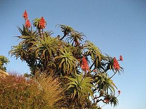 Infos über Aloe bei Wikipedia