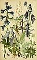 Alpenflora; die verbreitetsten Alpenpflanzen von Bayern, Österreich und der Schweiz (1922) (18109420635).jpg