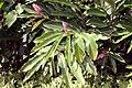 Alpinia purpurata 12zz.jpg