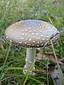 Amanita pantherina (1467443297).jpg