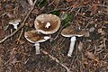 Amanita pantherina qtl1.jpg
