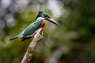 Amazon Kingfisher (27012341489).jpg