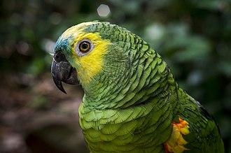 Turquoise-fronted amazon - Image: Amazona aestiva Parque das Aves, Foz do Iguacu, Brazil head 8a