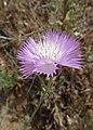 Amberboa moschata kz02.jpg