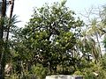 Ambo (Konkani- आंबॉ) (3167551108).jpg