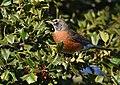 American Robin eating Holly berries (46331696422).jpg