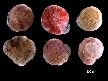 Ammonia beccarii, a benthic foram from the North Sea. Ammonia beccarii.jpg