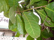 Anacardium occidentale 0013.jpg