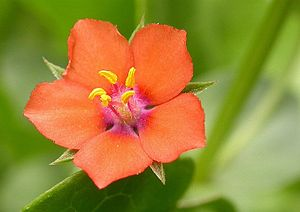 The Scarlet Pimpernel - Anagallis arvensis, the scarlet pimpernel flower