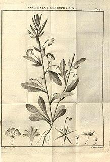 <i>Goodenia heterophylla</i>
