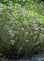 Anaphalis margaritacea (aka).jpg