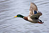 Anas platyrhynchos -New Jersey -USA -male flying-8.jpg