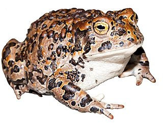 Yosemite toad - Adult female in Kings Canyon