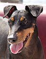 Anchor, the Manchester Terrier.jpg