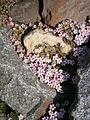 Androsace alpina03.JPG
