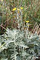 Andryala pinnatifida kz12.jpg