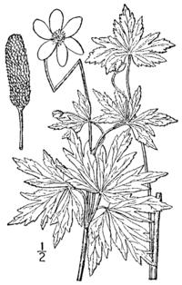 Anemone cylindrica BB-1913