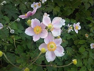 <i>Eriocapitella tomentosa</i> Species of flowering plant