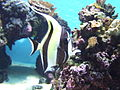 Angel Fish (4564153001).jpg