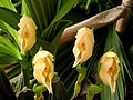Anguloa uniflora (14314536514).jpg