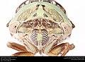 Annual cicada (Cicadidae, Neotibicen sp.) (27951358736).jpg