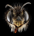 Anthophora plumipes, F, Head, N.A 2013-04-19-14.14.52 ZS PMax (8667378672).jpg