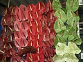 Anthurium displayed in shop from Lalbagh flower show Aug 2013 8646.JPG