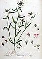 Antirrhinum orontium — Flora Batava — Volume v11.jpg