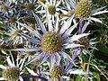 Apiales - Eryngium bourgatii - 7.jpg