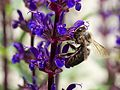 Apis melifera on salvia Zurich 2014.jpg