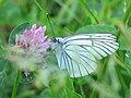 Aporia crataegi - Black-veined white - Боярышница (41133257132).jpg