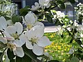 Apple blossoms at the Gibson House.jpg