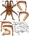 Aptostichus sarlacc anatomy.jpg