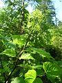 Aralia racemosa (5097262395).jpg