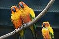 Aratinga solstitialis -Vogelpark Walsrode-8a.jpg