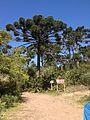 Araucária (Araucaria angustifolia).jpg
