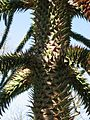 Araucaria araucana02 by Line1.jpg