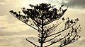 Araucaria heterophylla Sunset 4.jpg